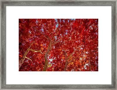 Autumn Japanese Maple Framed Print