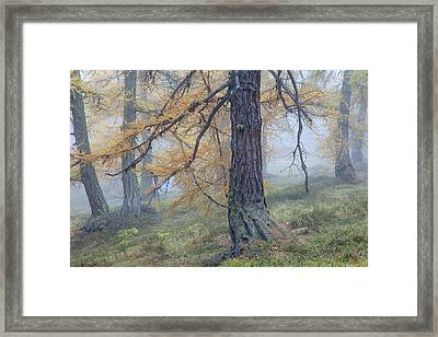Autumn Larch And Fog Alps, Switzerland Framed Print by Heike Odermatt