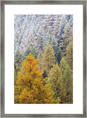 Autumn Larch Forest, Alps Switzerland Framed Print by Heike Odermatt