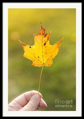 Maple Tree. New England Framed Prints
