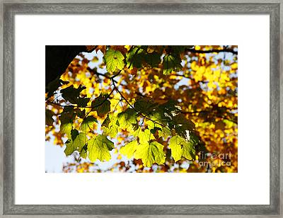 Framed Print featuring the photograph Autumn Light In Leaves by Lincoln Rogers