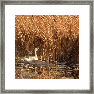 Autumn Light- Trumpeter Swans Framed Print by Aaron Blaise