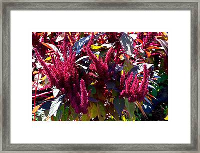 Autumn Magenta Jewel Alstede Farm Framed Print