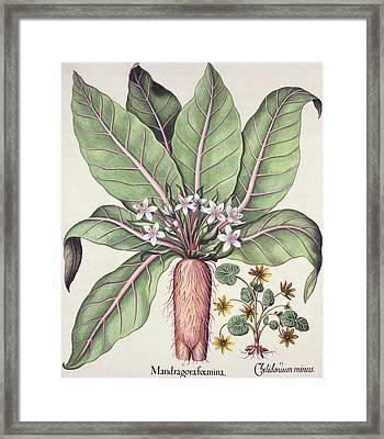Autumn Mandrake Framed Print