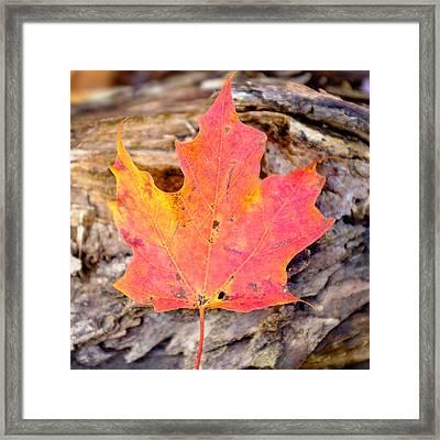 Autumn Maple Leaf On A Log Framed Print