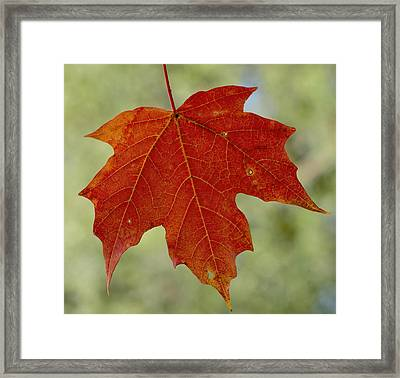 Autumn Maple Leaf Framed Print