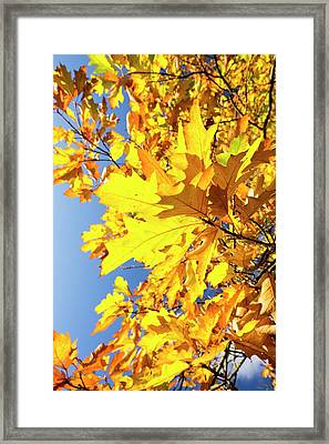 Autumn Maple Leaves Framed Print by Ashley Cooper