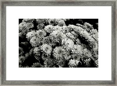 'autumn Mums' Framed Print