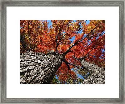 Autumn Nature Maple Trees Framed Print by Christina Rollo