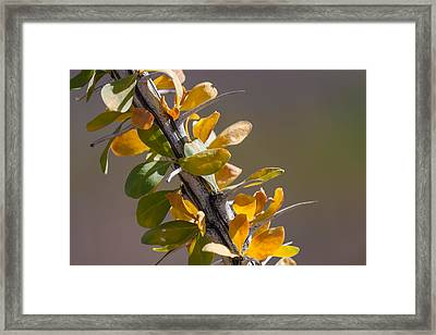 Autumn Ocotillo Framed Print by Beverly Parks