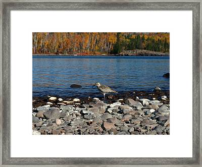Autumn Plover  Framed Print by James Peterson