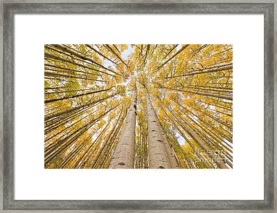 Autumn Quaking Aspen Rocky Mts Colorado Framed Print by Yva Momatiuk and John Eastcott