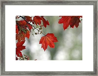 Autumn Red Framed Print by Karol Livote