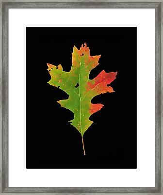 Autumn Red Oak Leaf 1 Framed Print