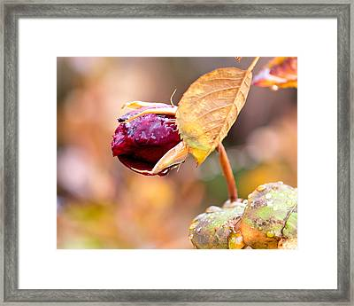 Framed Print featuring the photograph Autumn Rosebud by Rona Black