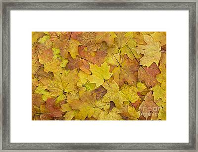 Autumn Sugar Maple Leaves Framed Print