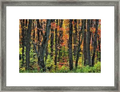 Autumn Sugar Maple, Yellow Birch And Framed Print by Thomas Kitchin & Victoria Hurst