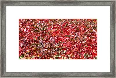 Autumn Sumac Framed Print by James Hammen