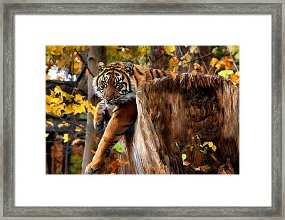 Framed Print featuring the photograph Autumn Tiger by Elaine Manley