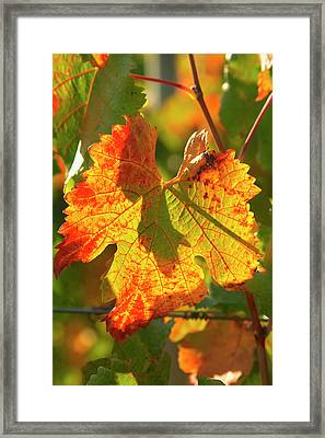 Autumn Vine Leaf, Vineyard Framed Print