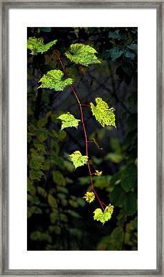 Autumn Vine Framed Print