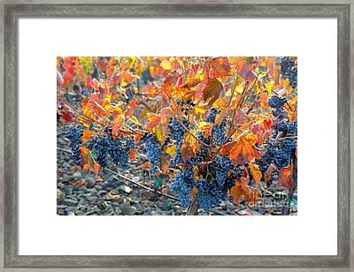 Autumn Vineyard Sunlight Framed Print by Carol Groenen