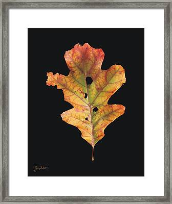 Autumn White Oak Leaf 2 Framed Print