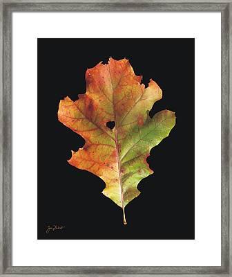 Autumn White Oak Leaf 3 Framed Print