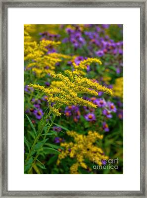 Autumn-wildflowers-goldenrod Framed Print