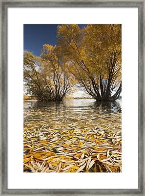 Autumn Willows Lake Tekapo New Zealand Framed Print by Colin Monteath