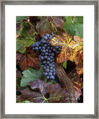 Autumn Zinfandel Cluster Framed Print