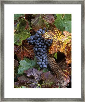 Autumn Zinfandel Cluster Framed Print by Craig Lovell