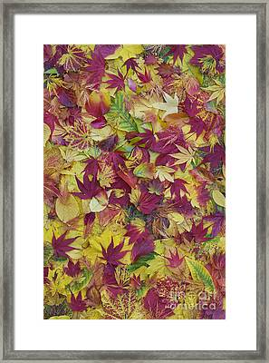 Autumnal Acer Leaves Framed Print by Tim Gainey