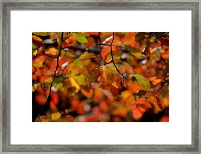 Autumn's Firey Show Framed Print by Steve Gravano