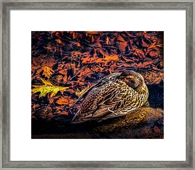 Autumns Sleepy Duck Framed Print