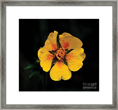 Avens Flower Framed Print