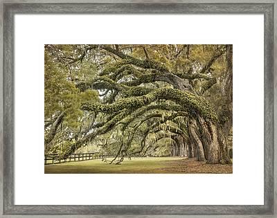 Avenue Of Oaks Framed Print