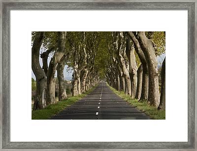 Avenue Of Plane (platanus Sp.) Trees Framed Print by Bob Gibbons