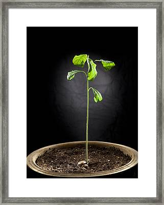 Avocado Tree  Framed Print by Alexey Stiop