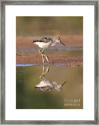 Avocet Chick  Framed Print by Ruth Jolly