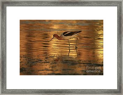 Avocet Gold Framed Print