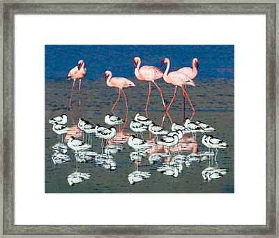 Avocets And Flamingos Standing Framed Print