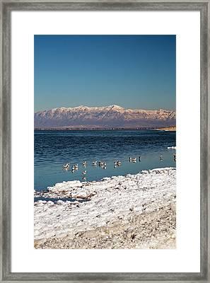 Avocets On Antelope Island Framed Print by Jim West