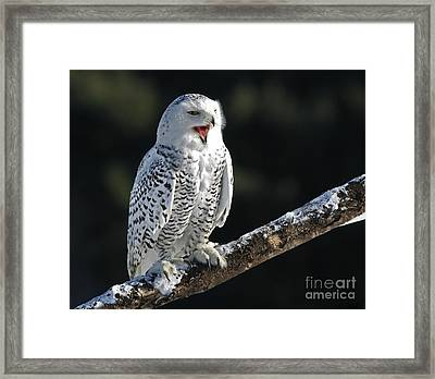 Awakened- Snowy Owl Laughing Framed Print by Inspired Nature Photography Fine Art Photography