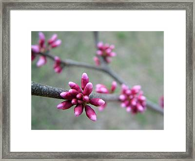 Awakening Bloom Framed Print by Kathy Churchman