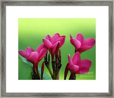 Awaking Red Plumeria Framed Print
