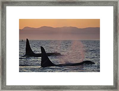 Award Winning Photo Of Two Killer Whales At Sunset Dramatic Silhouette Framed Print