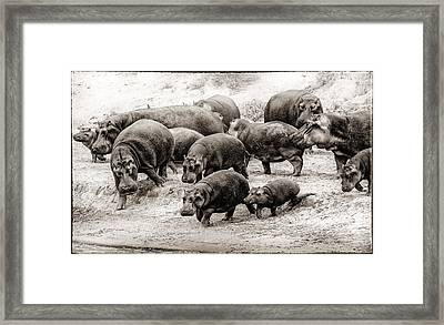 Aware Hippos Framed Print by Mike Gaudaur