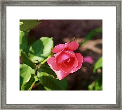 Awesome Rose Framed Print by Victoria Sheldon