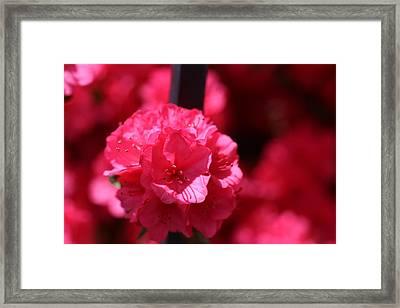 Azalea Bloom Framed Print